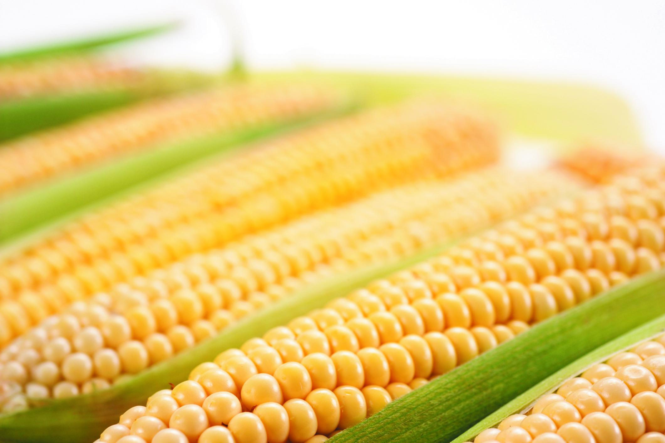 Parlament Europejski nie dopuścił modyfikowanej genetycznie kukurydzy